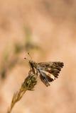 False Mallow Skipper. Tiny False Mallow Skipper, Carcharodus tripolinus, on tip of flowerhead Stock Photos