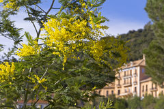 False Mimosa (Acacia dealbata, Mimosaceae) Stock Photo