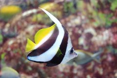 False moorish idol fish Stock Photo