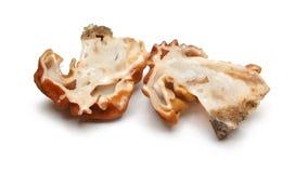 False morel mushroom Stock Images