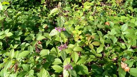 False nettle lamium maculatum with characteristic pink flowers royalty free stock photos