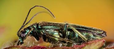 False oil beetle, Thick-legged flower beetle, Swollen-thighed beetle, Oedemera nobilis. Macro Focus Stacking - False oil beetle, Thick-legged flower beetle Stock Photo