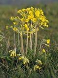 False Oxlip - Primula x polyantha Stock Images