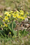 False Oxlip - Primula x polyantha Stock Images