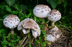 False Parasol mushroom. Macrolepiota Venenata, Scandinavian native mushroom, similar to Parasol mushroom (Macrolepiota Procera and Macrolepiota Rhacodes), but Royalty Free Stock Photos