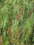 False Pepper Tree with fruit royalty free stock photos