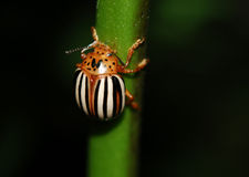 False Potato Beetle Stock Photo