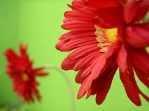 False Red Flower. Two false red flowers in a green wall Royalty Free Stock Photo