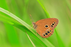 The False Ringlet butterfly Royalty Free Stock Image