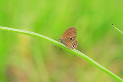 The False Ringlet butterfly Stock Image