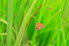 The False Ringlet butterfly Stock Photography