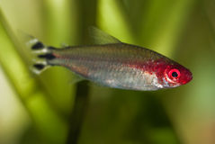 False Rummynose Tetra fish Royalty Free Stock Photography