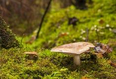 False saffron milk-cap mushroom royalty free stock photos