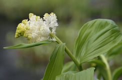 False Solomon's Seal Royalty Free Stock Photography