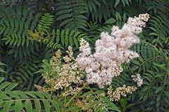Close up image of False spiraea flowers. Royalty Free Stock Image