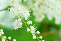 False spirea Royalty Free Stock Photo