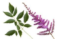 False Spirea Flower Royalty Free Stock Image