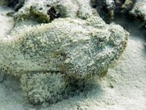False Stonefish Stock Images
