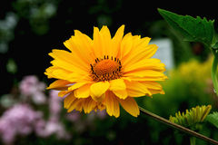 False Sun Flower. Photograph taken in an English Country Cottage garden of a sunflower type daisy Royalty Free Stock Image