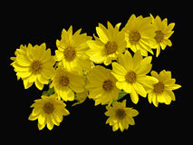 False Sunflowers. Beautiful false sunflowers that bloom in late summer royalty free stock photos