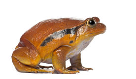False Tomato Frog, Dyscophus guineti Royalty Free Stock Image