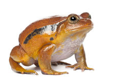 False Tomato Frog, Dyscophus guineti Stock Photography