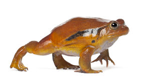 False Tomato Frog, Dyscophus guineti Stock Photos