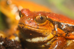 False tomato frog Stock Photos