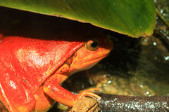 False tomato frog Royalty Free Stock Photo