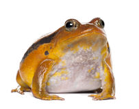 False Tomato Frog, Dyscophus guineti, portrait Stock Photo
