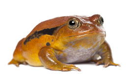 False Tomato Frog, Dyscophus guineti, portrait Royalty Free Stock Photos