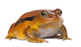 False Tomato Frog, Dyscophus guineti, portrait Royalty Free Stock Photos