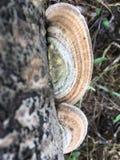 False turkeytail mushrooms Stock Photos