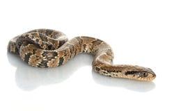 False Water Cobra stock photography