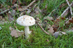 False White Deathcap. False white deathcap, Amanita citrina, growing amoung moss grass and leaves Stock Image