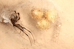 False Widow spider Royalty Free Stock Image