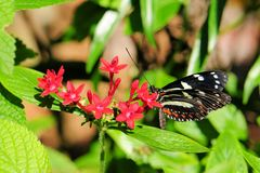 False Zebra Longwing butterfly Stock Photo