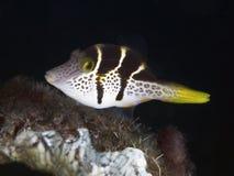 Falsk puffer för korallfisk Royaltyfri Fotografi
