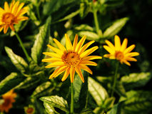 Falsk solros, grov oxöga - Heliopsishelianthoides & x27; Loraine Sunshine & x27; Arkivfoto