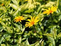 Falsk solros, grov oxöga - Heliopsishelianthoides & x27; Loraine Sunshine & x27; Arkivbilder