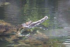 Falskt gharial, Tomistomaschlegelii, vatten Arkivfoton