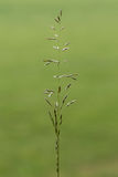 Falskt havre-gräs & x28; Arrhenatherumelatius& x29; i blomma royaltyfria foton