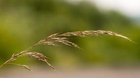 Falskt havre-gräs & x28; Arrhenatherumelatius& x29; i kärna ur fotografering för bildbyråer