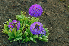 Falta de definición azul de la flor Foto de archivo libre de regalías