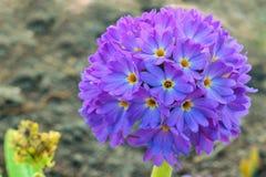 Falta de definición azul de la flor Imágenes de archivo libres de regalías