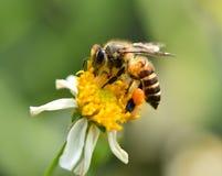 Falta de definición del fondo de la flor de la abeja Imágenes de archivo libres de regalías