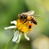 Falta de definición del fondo de la flor de la abeja Foto de archivo libre de regalías