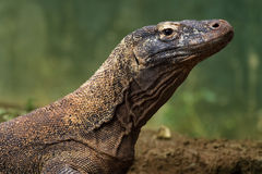 Falta de definición del fondo del dragón de Komodo fotos de archivo