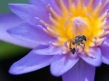 Falta de definición de la abeja que chupa de Lotus púrpura Fotos de archivo