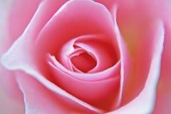 Falta de definición suave de la rosa Imagen de archivo